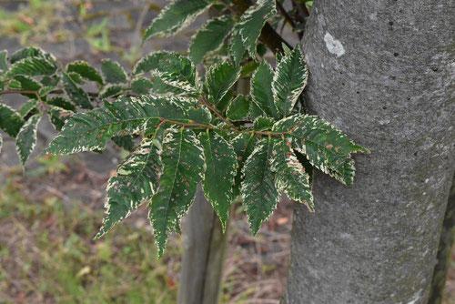 欅 種類 特徴