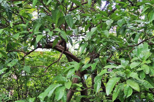 温州ミカンの木