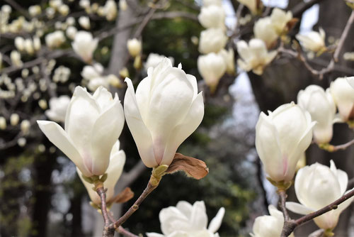白花が咲くモクレン