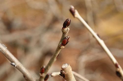 フジの冬芽,ふじ,画像