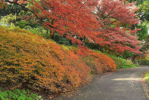 満天星躑躅 紅葉