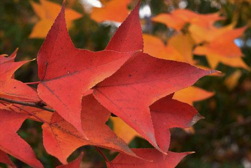 台湾楓の紅葉,たいわんふう