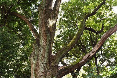 樹形,剪定