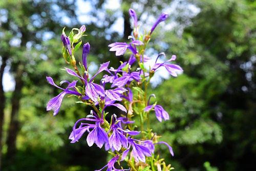 サワギキョウの花,画像