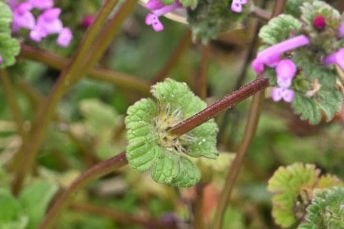 仏の座,植物