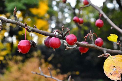 姫林檎,ひめりんご,写真