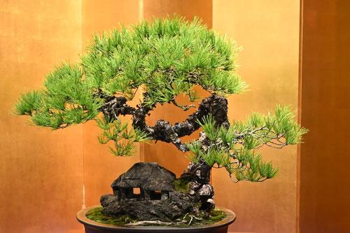 bonsai,red pine