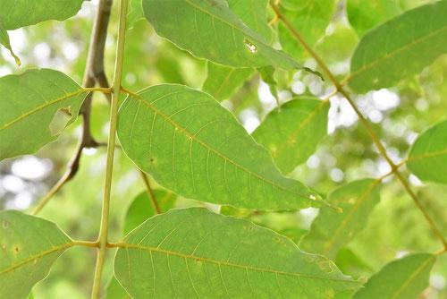 葉の裏側の様子