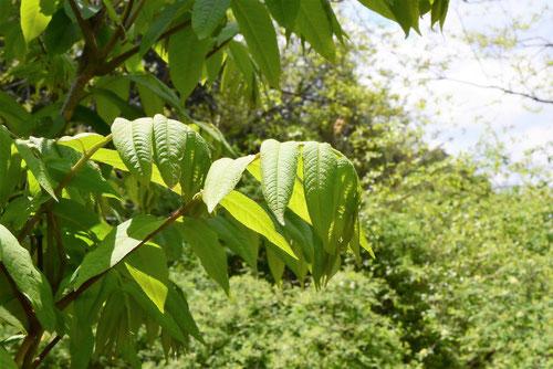 沢胡桃,さわぐるみ,葉っぱ,画像