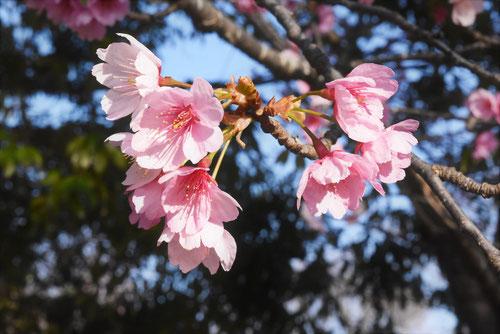 早咲きの桜 カンザクラ