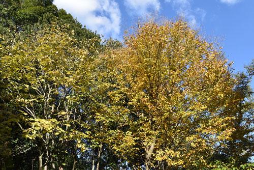 紅葉期,アズサの木