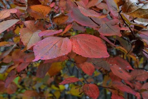 ツクバネウツギの紅葉,黄葉