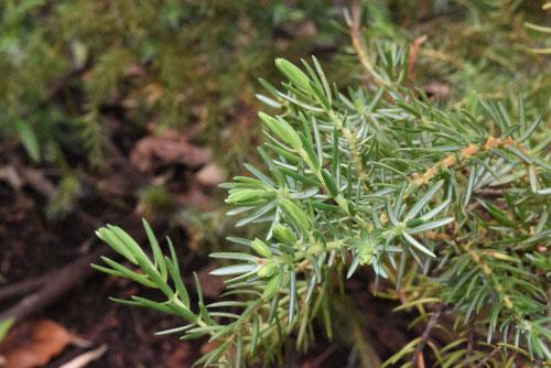 ハイネズの葉,はいねず,画像