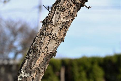 杏の木の皮