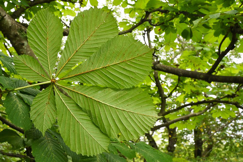 マロニエの葉,樹木