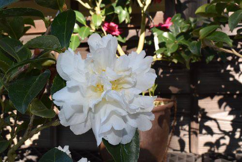 白い花のカンツバキ 名前
