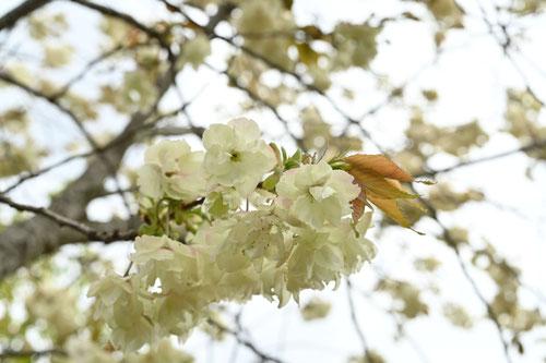 黄色い桜,名前,種類