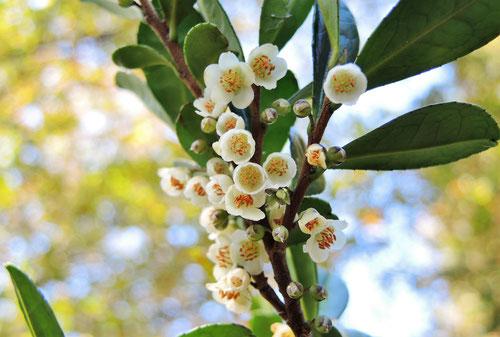 開花時期,ハマヒサカキ,異臭騒ぎ
