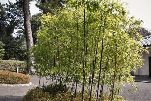 黒い竹,種類