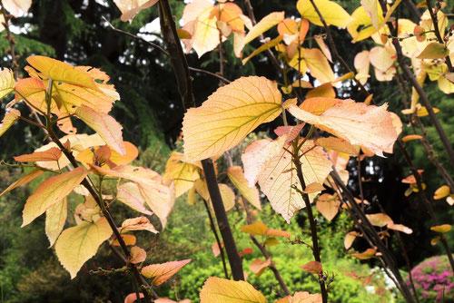 薄いピンクの葉の木,何