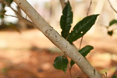 お茶の木の幹