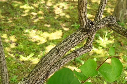 空木の種類
