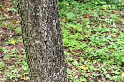 ウラジノノキ 樹皮