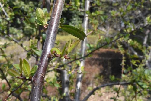 ぴらかんさの木