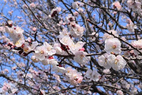 杏子 開花時期