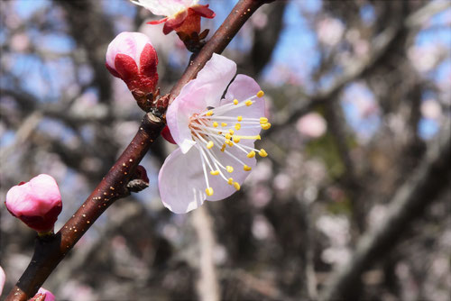 杏子,開花時期