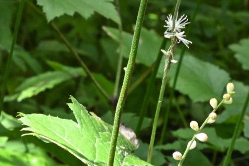 いぬしょうま,茎と蕾