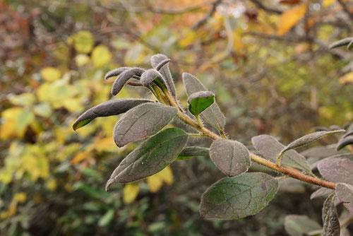 モチツツジの葉っぱ,画像,もちつつじ