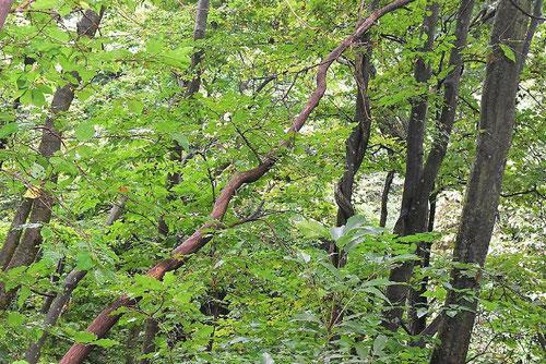ヌリバシノキ カシオシミ 樹皮