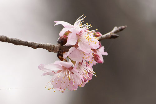 桜桃 花 画像