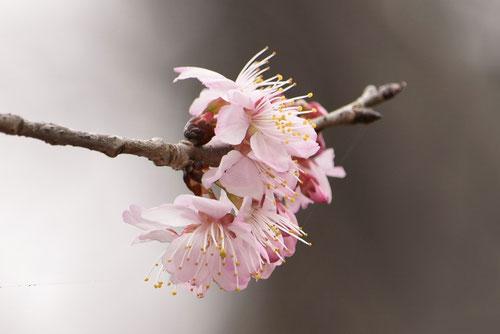 桜桃,花,画像