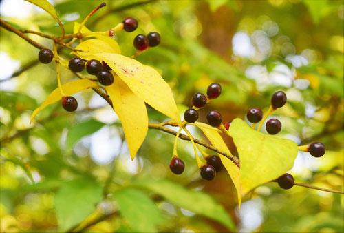 クロモジの黄葉,紅葉
