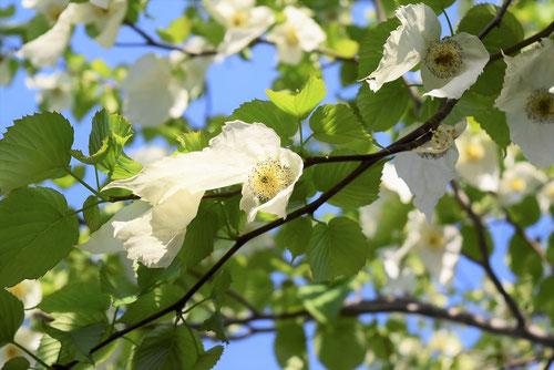 ハンカチの木 花