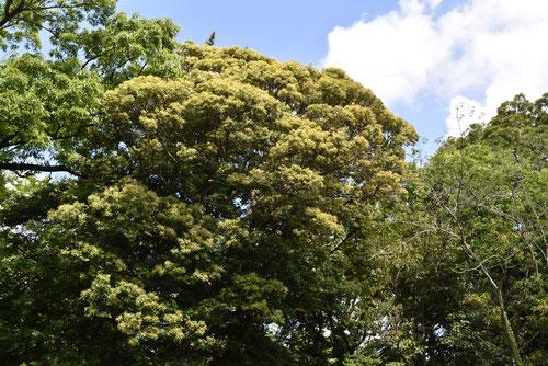 つぶらじいの木