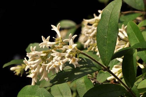 イボタロウ 樹木