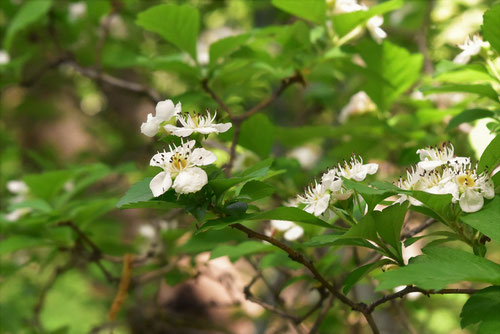 May flower,Japan