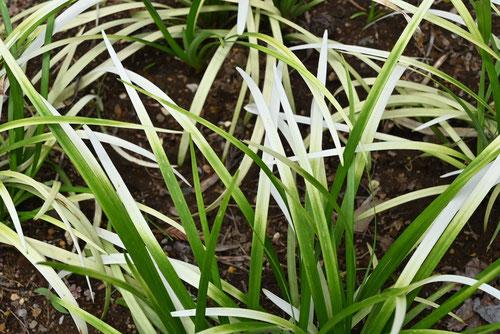 葉っぱが白っぽいリリオペ
