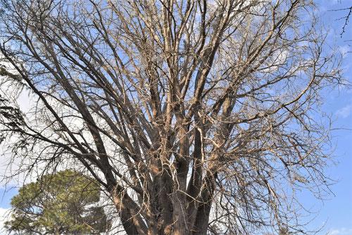 イチョウの木,樹形