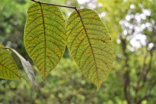 漆の木,葉っぱ,画像