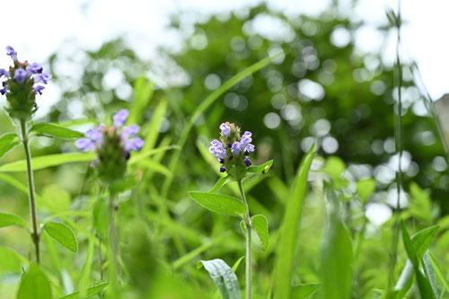 夏枯草,種類