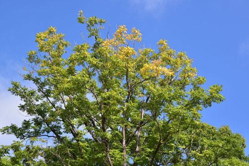 香椿,樹形
