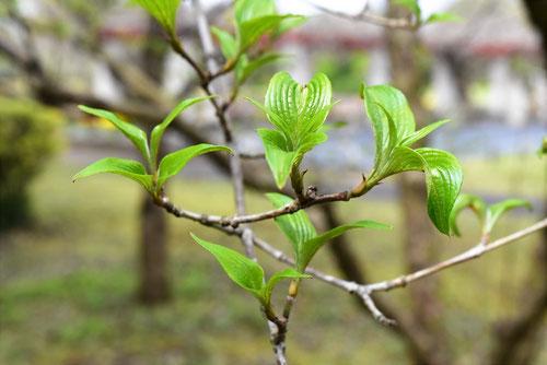 Japanese cornel dogwood,leaf