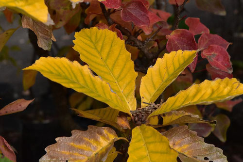 黄金柏の木