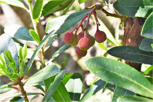 イチゴノキ,いちごのき,特徴