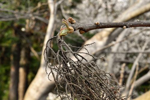 白膠木の木,特徴