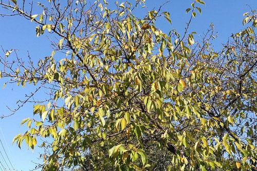 オオカンザクラ 紅葉 黄葉